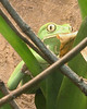 Waxy Monkey Frog - China & other Asia - Amphibian